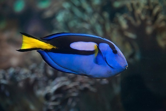 The Pacific blue tang