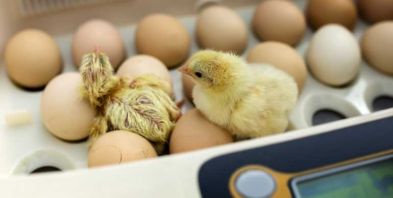 chicks Hatch in incubator