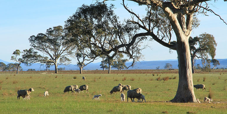 Sheep in a field in rural Australia